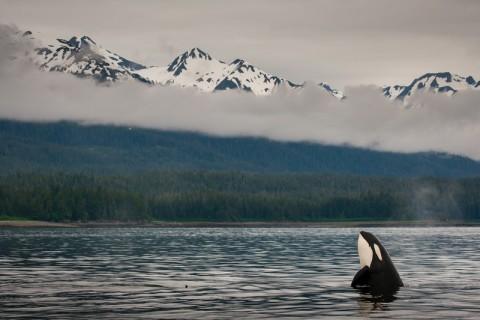 killer whale in alaska