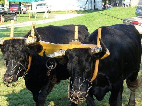 muzzled_oxen