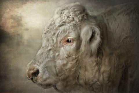 Cruiser the bull